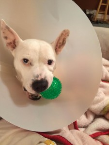 Pinky after her first surgery