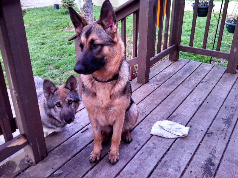 Izzy is a 10 mo old female GSD with NorthStar WI Dog Rescue